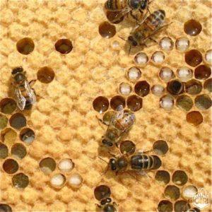 Pour ses profits le Capitalisme extermine les abeilles et demain avec elles l'Humanité