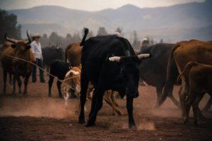 L'Union Européenne impose l'importation de 35 000 tonnes de bœuf américain !